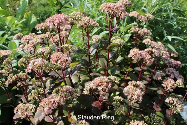 Große Garten-Fetthenne – Sedum telephium 'Matrona'